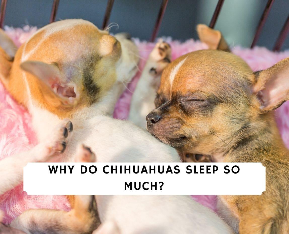 Why Do Chihuahuas Sleep So Much