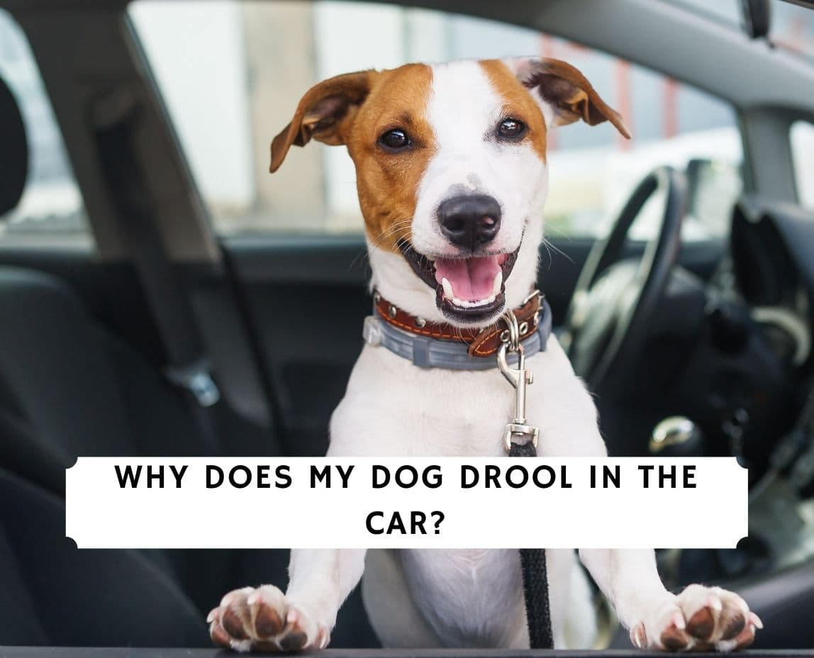 Why Does My Dog Drool In The Car