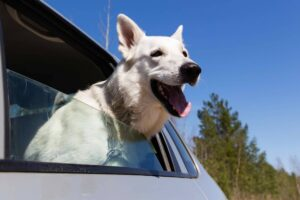 Dog Excited in Car