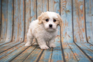 Why Some Cavapoo's Shed Differently?