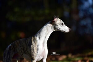 Wyndham Whippets