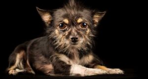 Your Guide to the Rat Terrier Chihuahua Mix