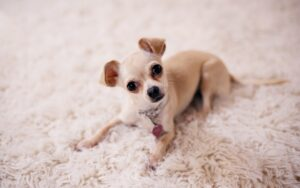 How Active are Chihuahuas?