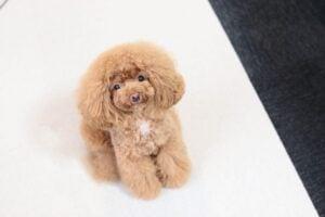 best dog food for miniature poodles