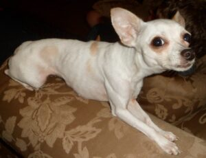 Reasons Why Your Chihuahua is Probably Too Skinny