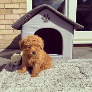 dog food for toy poodle puppy