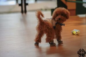 dry dog food for toy poodle