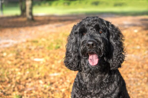 history of the labradoodle