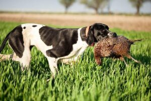 Conclusion For The Best Pointer Breeders in the United States