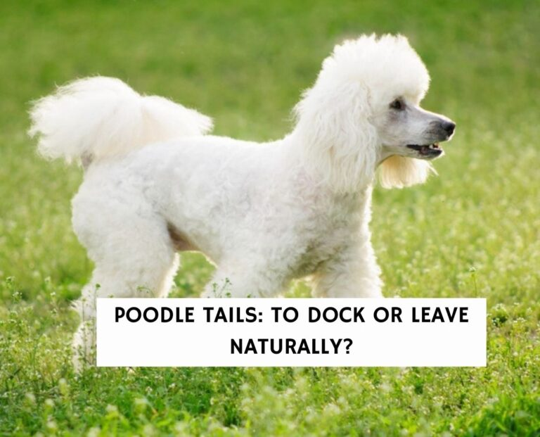Poodle Tails: To Dock or Leave Naturally?