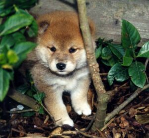 Conclusion For The Best Shiba Inu Breeders in the United States