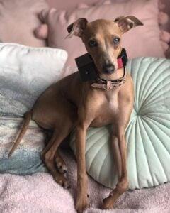 shock collar for barking