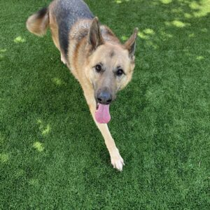 what can i feed my german shepherd to gain weight