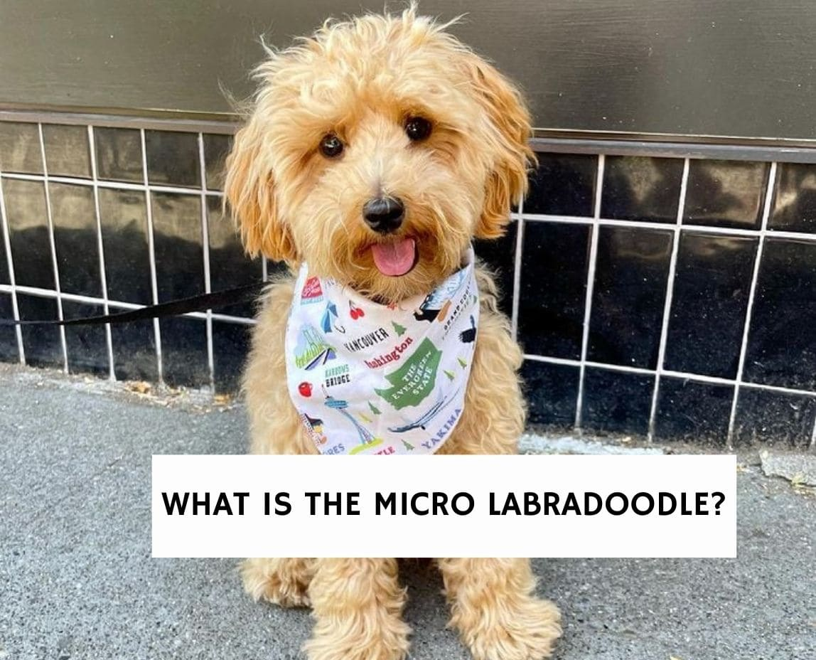 What is the Micro Labradoodle?