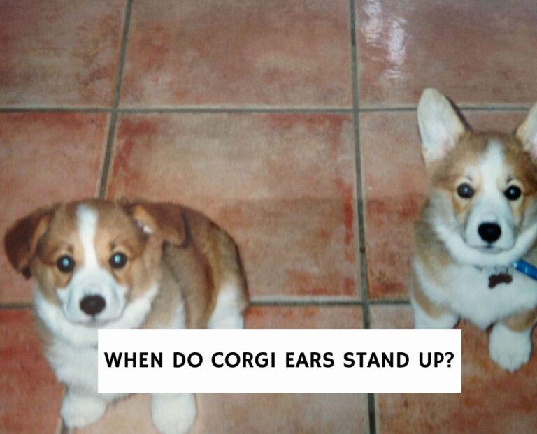 When Do Corgi Ears Stand Up?