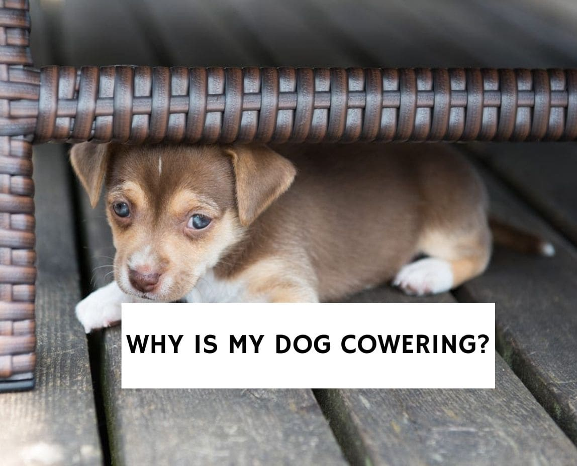 Why Is My Dog Cowering?