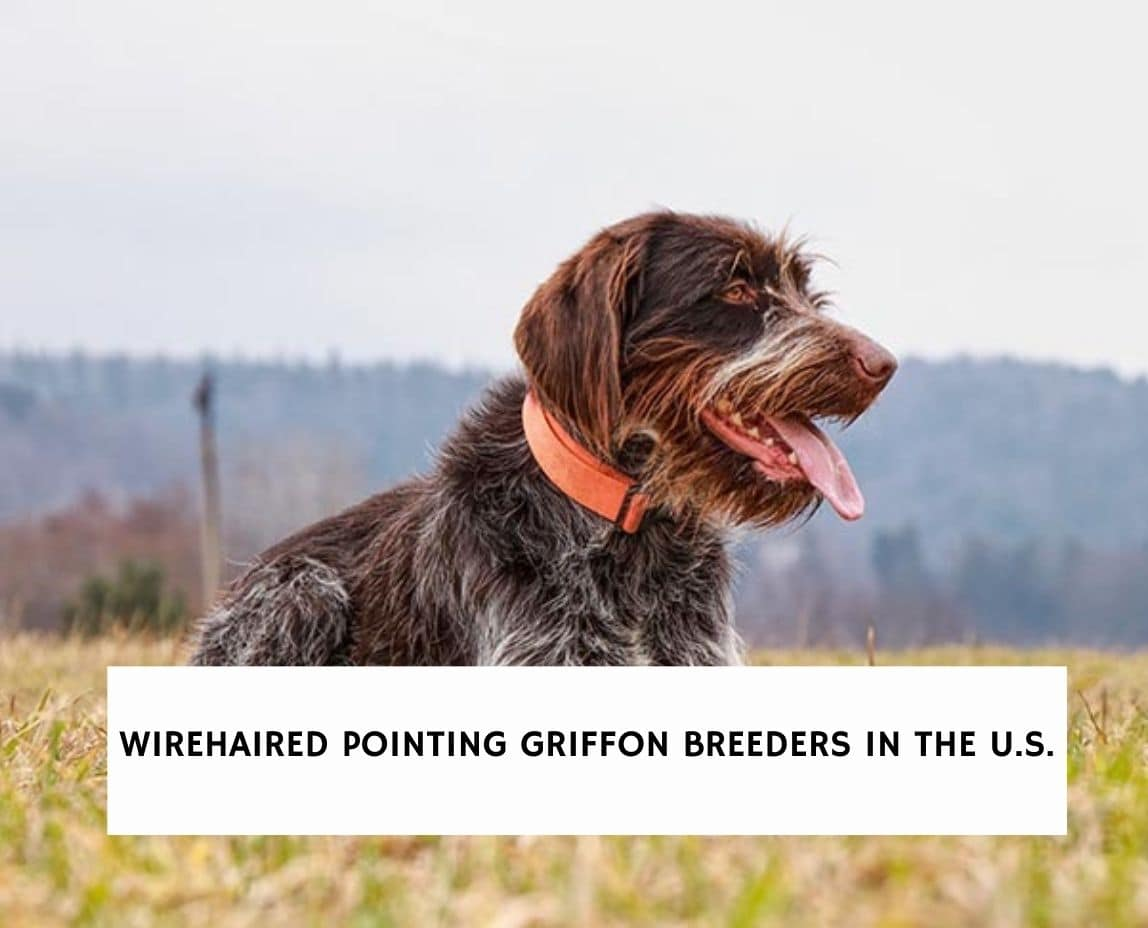 Wirehaired Pointing Griffon Breeders
