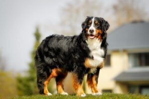 About the Bernedoodle