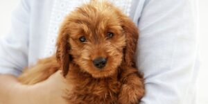 Adopting A Cat When You Have A Goldendoodle
