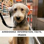 Airedoodle