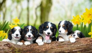 An Overview of Pros and Cons of the Bernedoodle