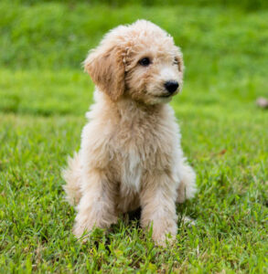 Are Doodle Dogs Hypoallergenic?
