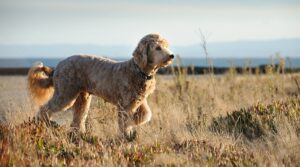 Are Goldendoodles An Ugly Crossbreed