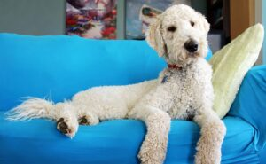 Are Goldendoodles Guard dogs?