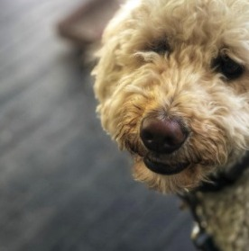 Are Goldendoodles Hard to Take Care Of