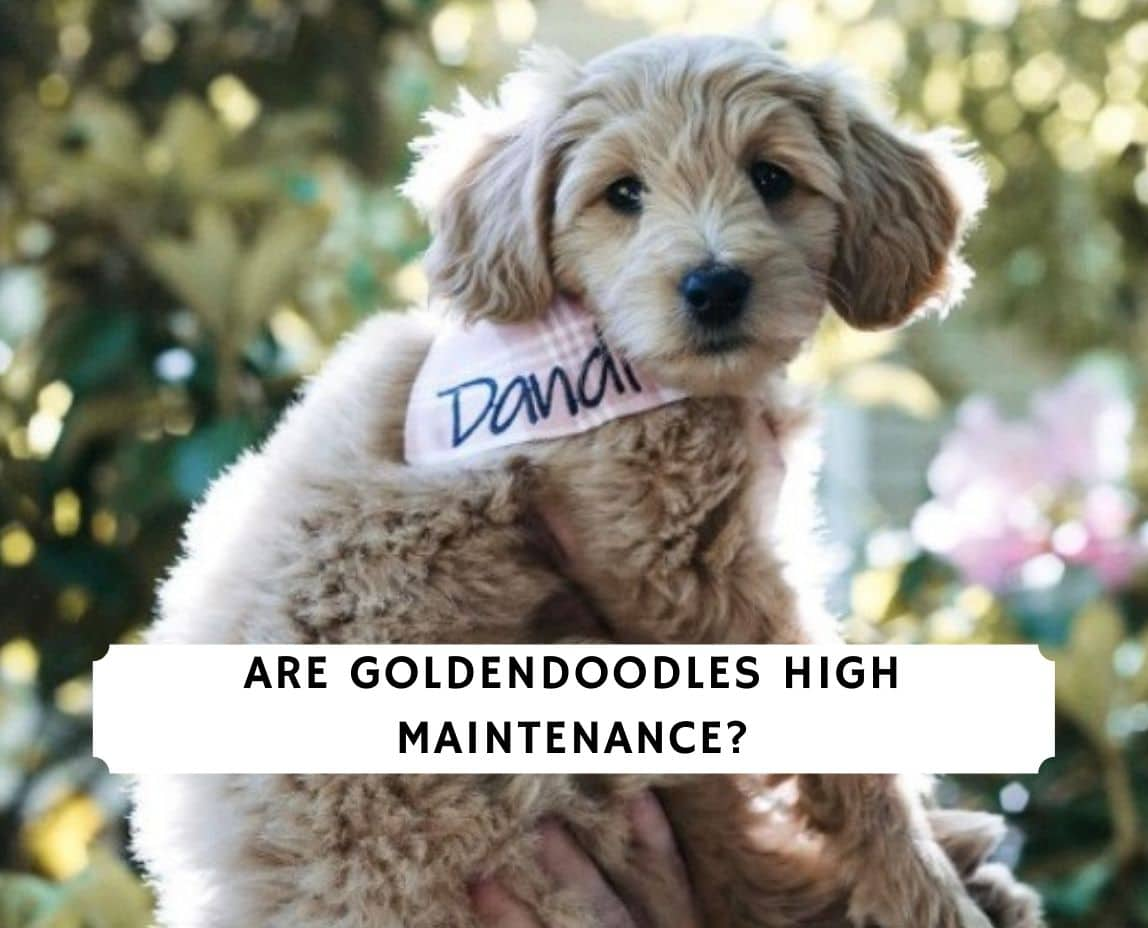Are Goldendoodles High Maintenance