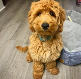 Are Goldendoodles Protective As A Breed