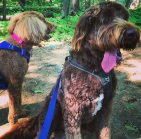Are Newfoundland and Poodle Mix Good With Children