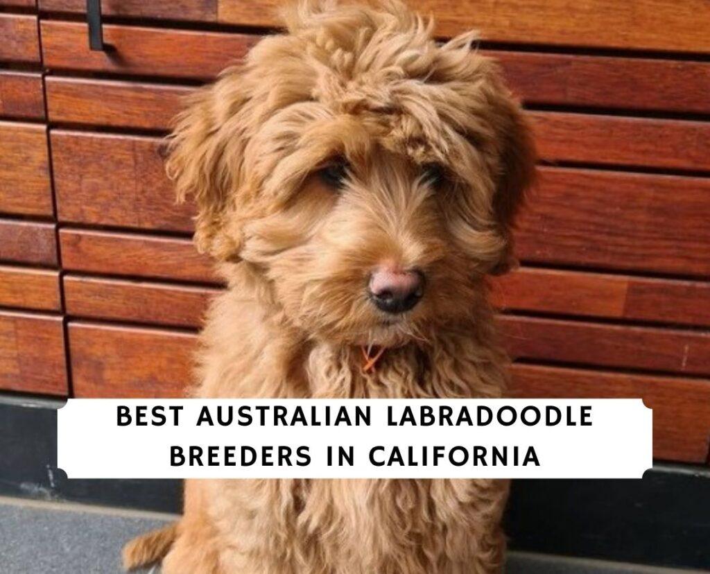 Australian Labradoodle Breeders in California