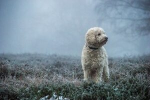 Background of Labradoodle as Hunting Dogs