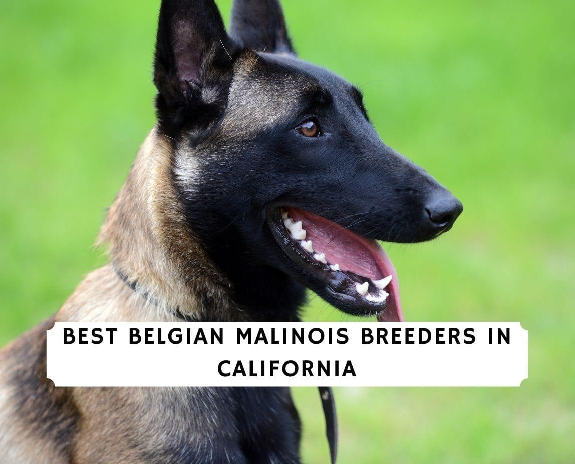 Belgian Malinois Breeders in California