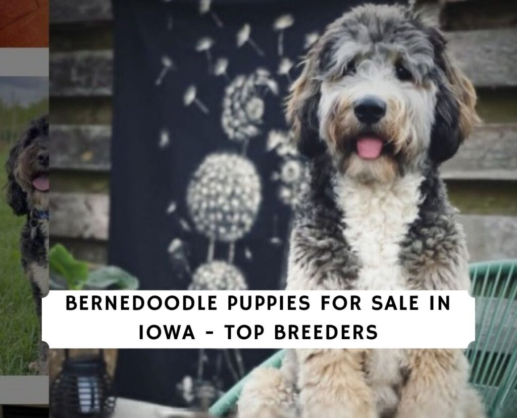 Bernedoodle Puppies For Sale in Iowa