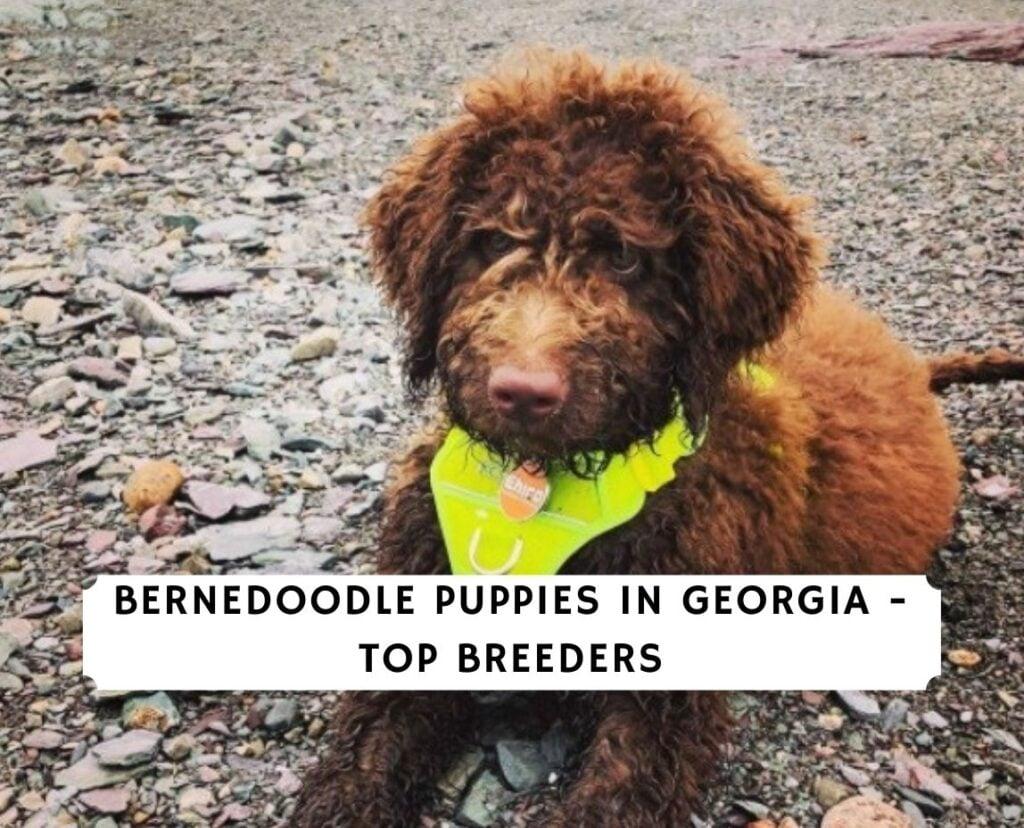 Bernedoodle Puppies in Georgia