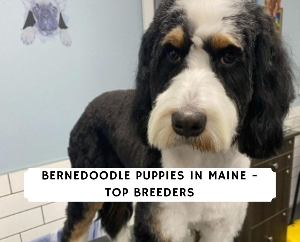 Bernedoodle Puppies in Maine