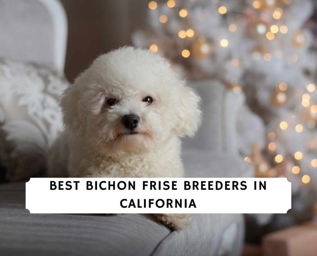 Bichon Frise Breeders in California