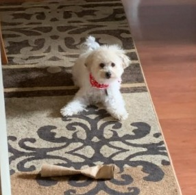 Bichon Frise Puppies For Sale in California