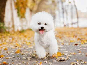 Conclusion For The Best Bichon Frise Breeders in California