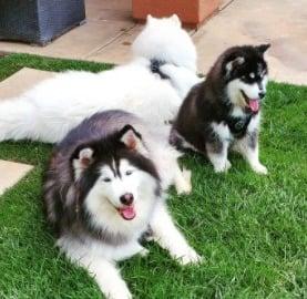 Bralin Siberian Huskies