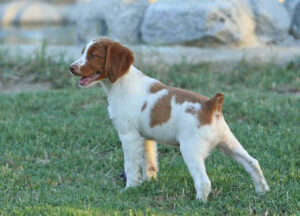 Brittany Puppies For Sale in California
