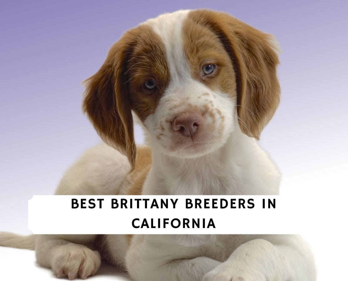 Brittany Breeders in California