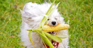 Is it Safe For Dogs To Eat Corn Nuts