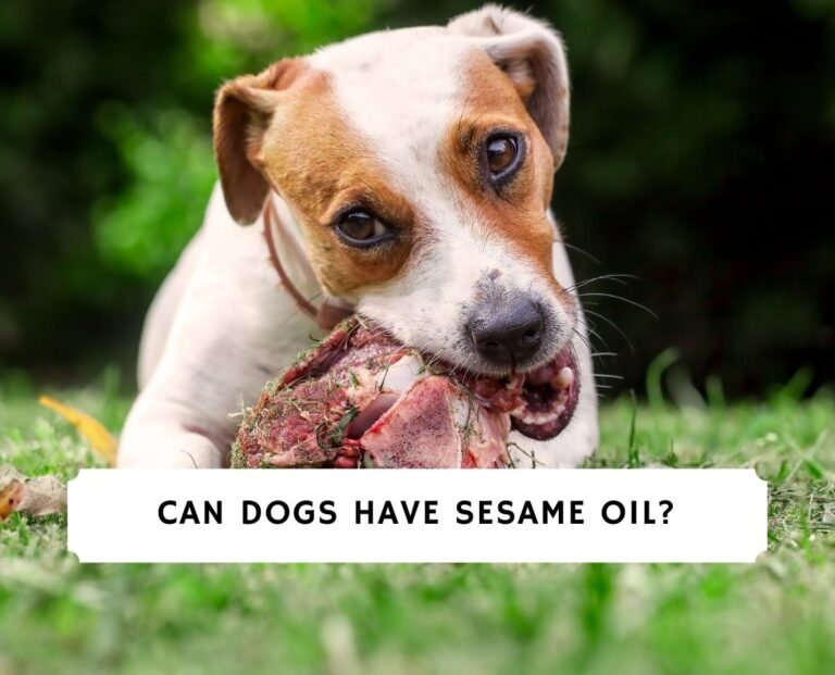 Can Dogs Have Sesame Oil