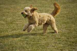 Can Goldendoodles Be Service Dogs