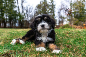 Care For Your Bernedoodle By Caring For Their Coat