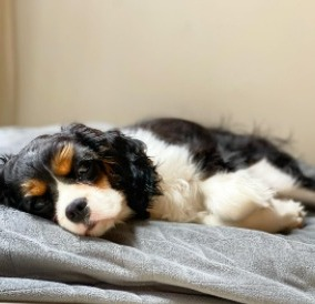Cavalier King Charles Spaniel Puppies For Sale in California