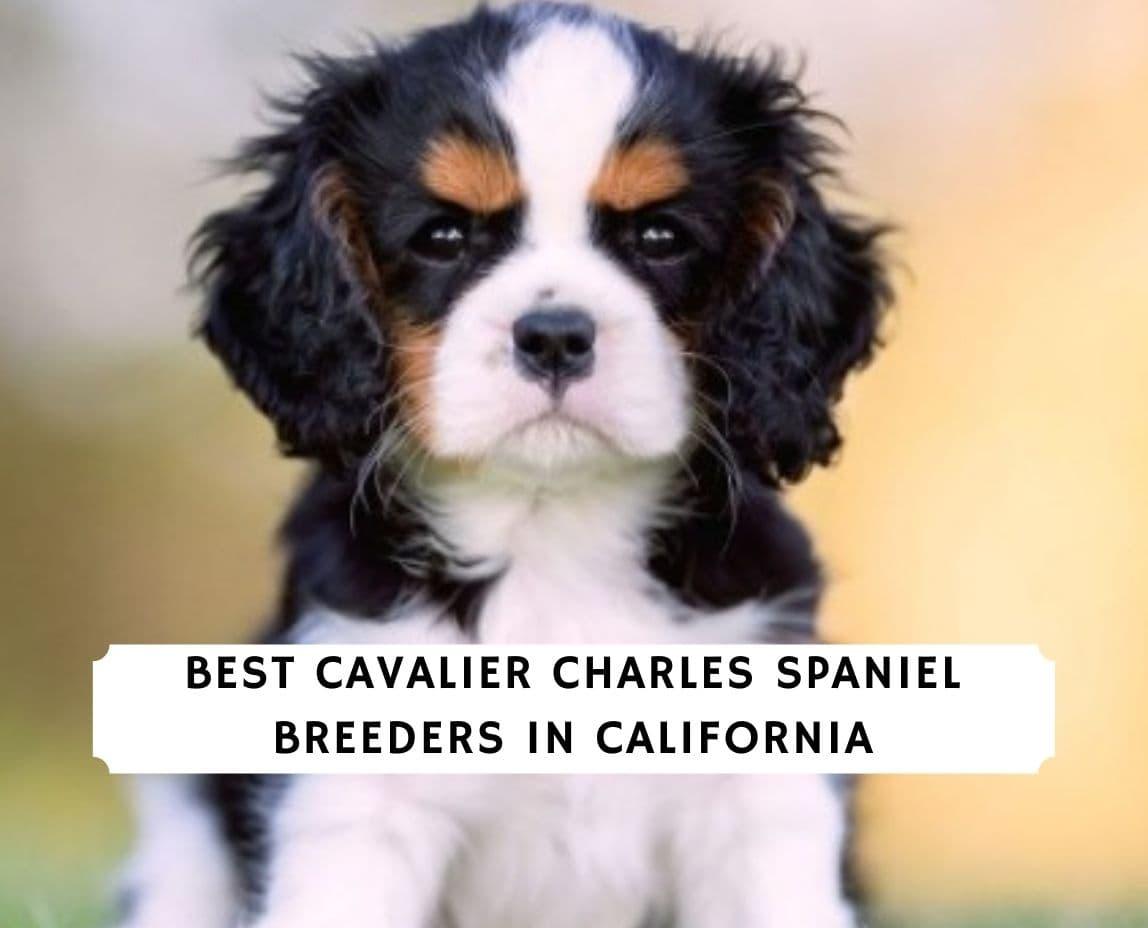 Cavalier King Charles Spaniel breeders in California
